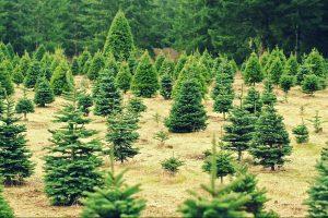 grantræ juletræ plantage